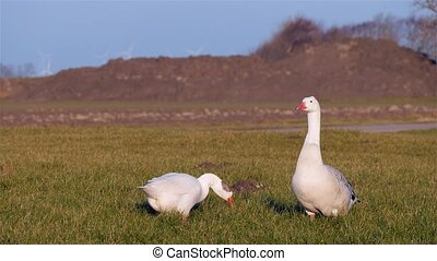 Goose couple on grass at sunset