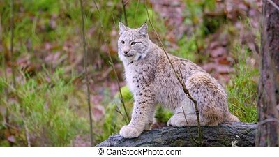 European lynx cat cub sits in the autumn forest - One...