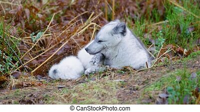 Observant arctic fox lying at forest floor in the late fall...