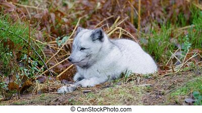 Cute arctic polar fox rests at forest floor in the early...