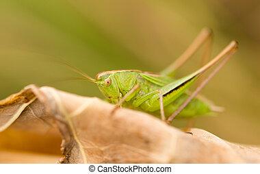 grasshopper in nature. close