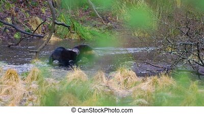 Two wolverine animals play on frozen water in the woods -...