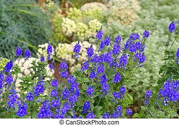 azul,  Veronica, flor, verão,  crinita,  gypsyweed