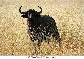 Buffalo. A dark buffalo in loneliness, against the field...