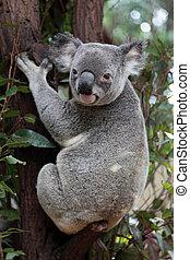 Koala sitting on an eucalyptus tree.