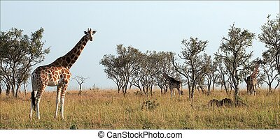 Giraffes. The group of giraffes walk on savanna on the grass...