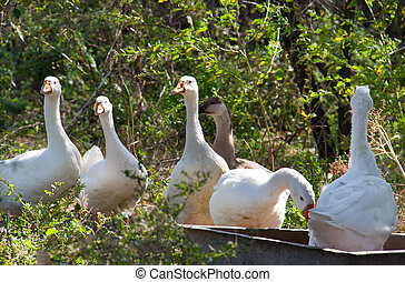 flock of geese grazing on the grass in the autumn - a flock...