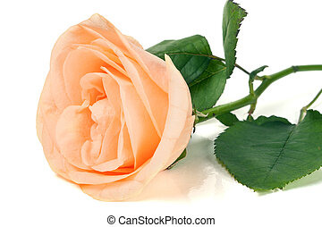 Peach rose with leaves isolated on white background.
