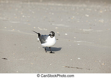 seagull with lost feet at the beach - handicapped seagull...