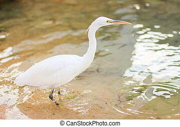 Egret, Bubulcus ibis - White egret, white bubulcus ibis