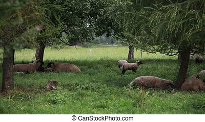 Flock of sheep grazing and resting - Flock of sheep and...