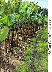 Banana plantation in Eastern Australia