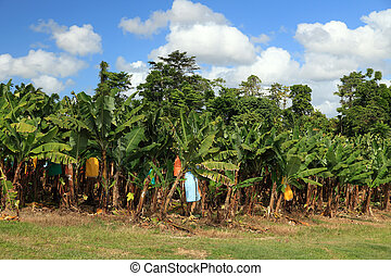 Banana plantation in Eastern Australia.