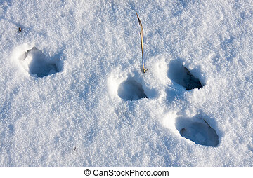 hare tracks in winter in the snow.