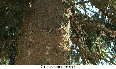 Powerful trunk of the pine tree in the park