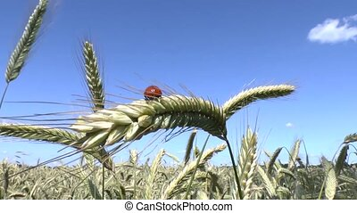 Ladybird and wheat - Ladybird taking off a wheat ear