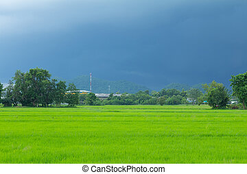 green rice field with heavy strom background - Image of...