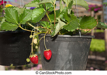 Strawberry in a pot.