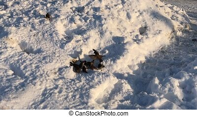 Flock of birds eating a piece of bread in the snow, winter sunny day