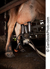 Milking Machine - Milking machine drawing from udder on...