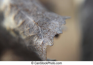Cottonwood leaf - Leaf in winter, dry, detail with veins,...