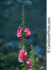 Beautiful Hollyhock flower or Alcea rosea.