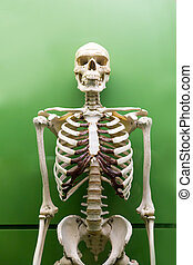 Skeleton model isolated. - Skeleton model isolated on green...