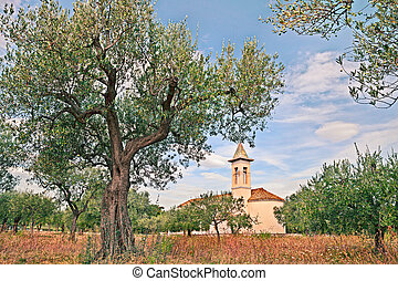 olive groove in Abruzzo, Italy - rural landscape with olive...