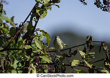 Palm Warbler pokeberry eye contact - Palm Warbler on...