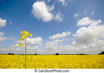 Rape flower and landscape - Yellow rape flower and...