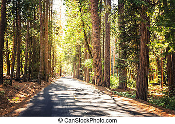 Evergreen pine forest at Yosemite National Park