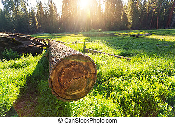 Cuted tree on green meadow at sunset in Sequoia National...