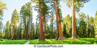 Grove with giant pine tree forest panorama at Sequoia...