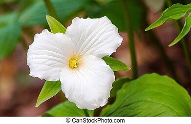 White petals of the large flowered White Trillium (Trillium...