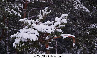 Winter Pine Forest with Snow-Covered Branches Christmas...
