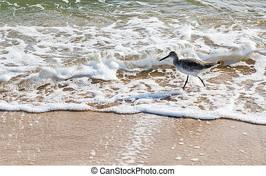 Willet Hunts in the Surf of the Gulf of Mexico
