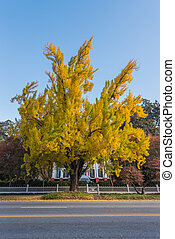 Yellow Ginkgo Tree in front of Southern Mansion in fall