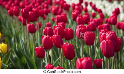 Red tulips on the flowerbed