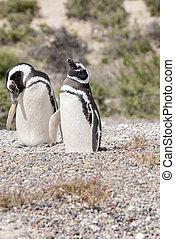 Magellanic Penguin of Punta Tombo Patagonia - Magellanic...