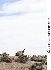 Guanaco in the national park of Punta Tombo, Argentina