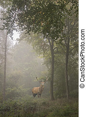 Beautiful image of red deer stag in foggy Autumn colorful forest landscape image