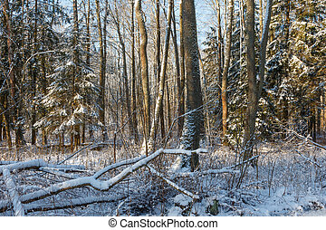 Trees snow wrapped blizzard after - Snowfall after deciduous...