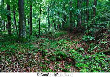 Lush foliage of summetime beech stand in Bieszczady just...