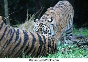 Sumatran Tiger rare and endagered tiger