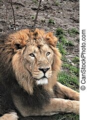 Asiatic lion close up rare and endagered golden