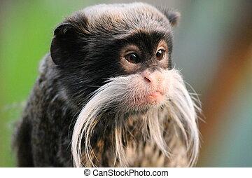 Emperor Tamarin monkey on branch white mustache - Emperor...