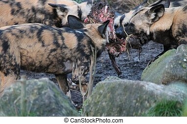 African hunting dog pack eating horse carcas fighting -...