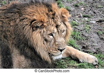 lion - Asiatic lion close up rare and endagered - Asiatic...