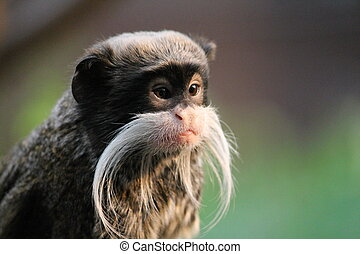 Monkey - Emperor Tamarin monkey on branch white mustache -...