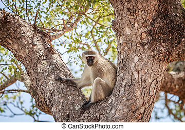 Vervet monkey sitting in a tree. - Vervet monkey sitting in...
